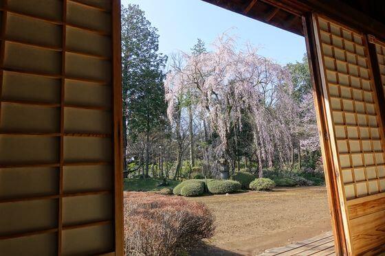 紅葉山庭園 喜多院 桜