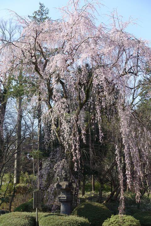 徳川家光お手植えの桜