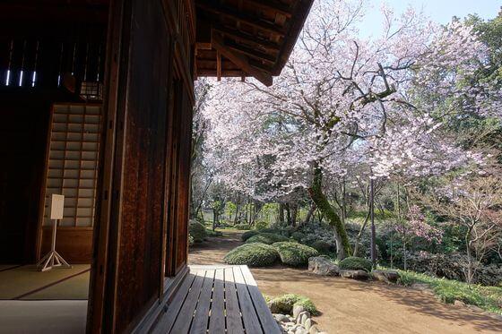 川越大師 枝垂れ桜