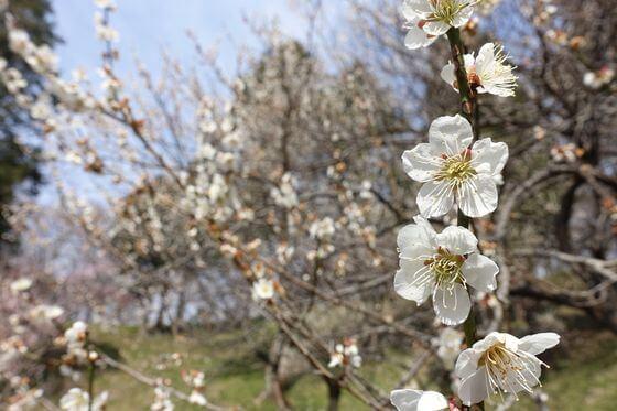 こどもの国 梅 開花状況