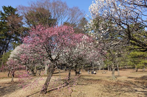小金井公園 梅園