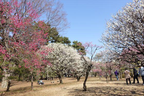 小金井公園 梅