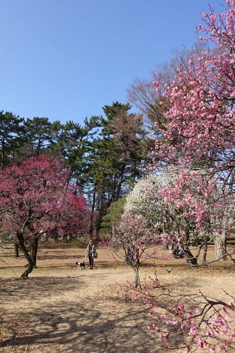 小金井公園 梅 種類