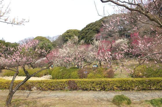 小石川植物園 梅 見頃