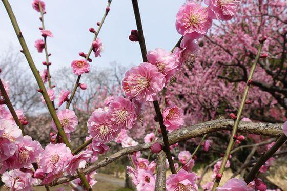 小石川植物園 梅 開花状況