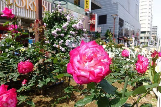 町屋駅 薔薇