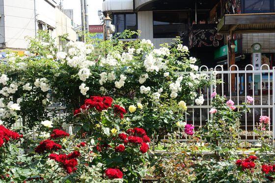 荒川 薔薇