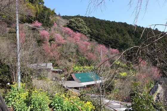 お山のたいしょう桜
