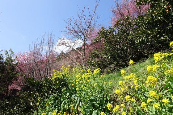 小田原 菜の花