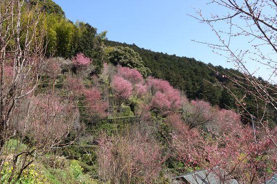 きのこ苑お山のたいしょう おかめ桜