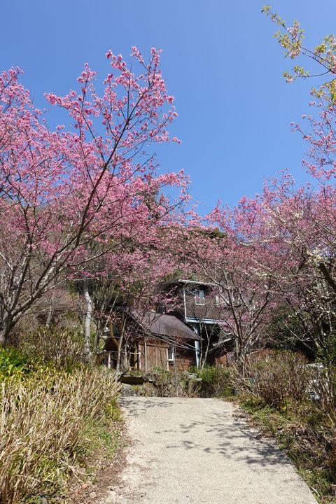 小田原 星ヶ山 桜