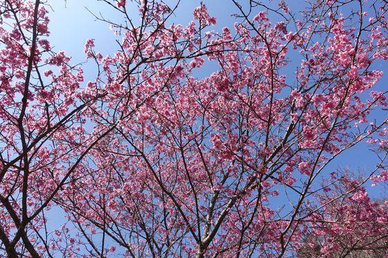 おかめ桜 星ヶ山