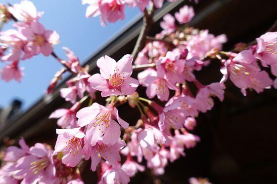 星ヶ山 おかめ桜まつり