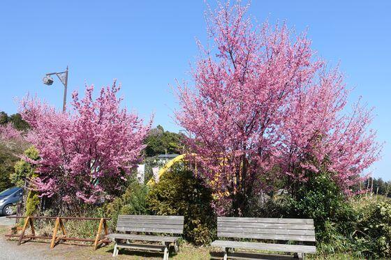 おかめ桜まつり オーランジェ ガルデン