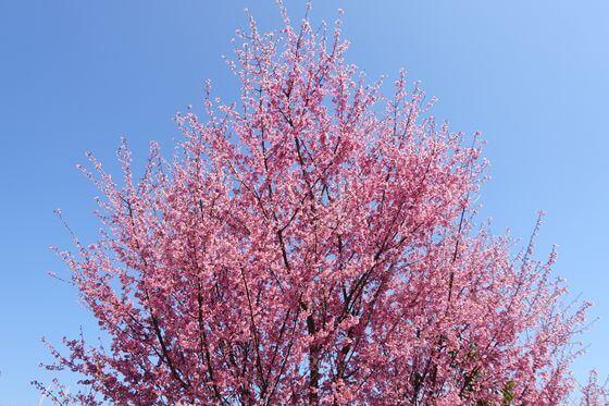 オーランジェ ガルデン 桜