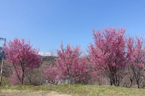 宮本園 おかめ桜