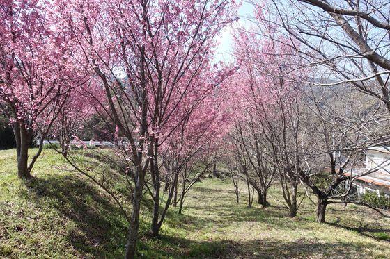 おかめ桜 宮本園