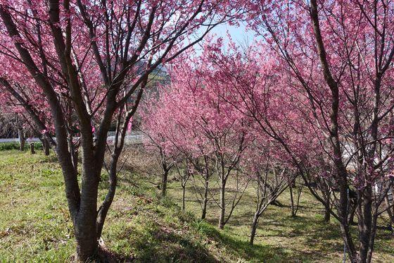 小田原 宮本園 おかめ桜