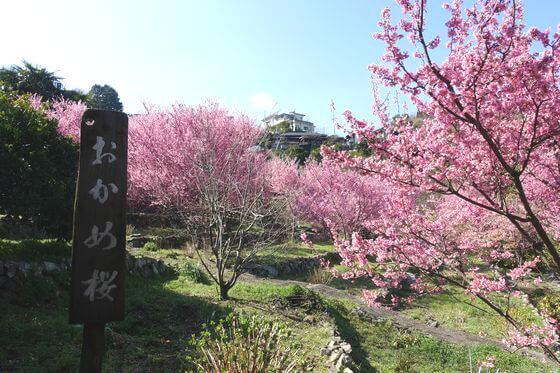 小田原 江の浦テラス おかめ桜