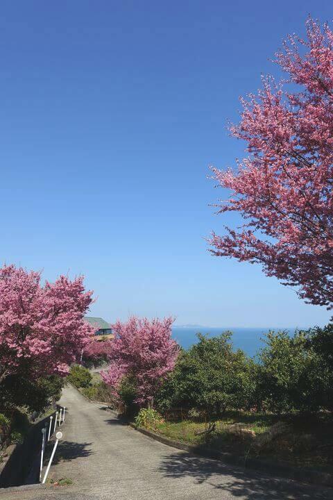 江の浦テラス 根府川おかめ桜まつり