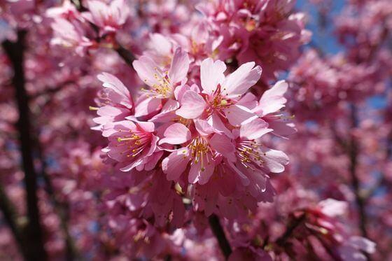 江の浦テラス おかめ桜まつり