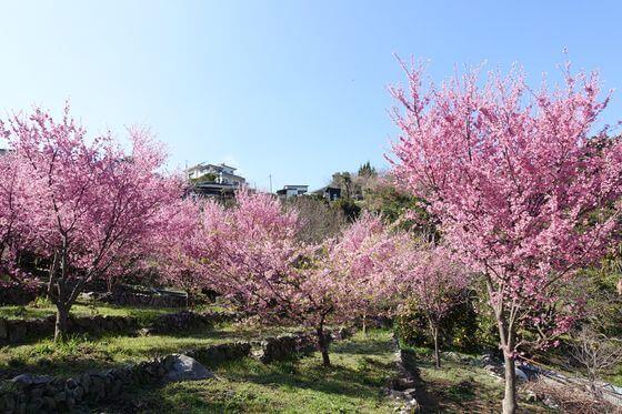 江之浦 おかめ桜