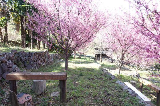 江之浦 桜