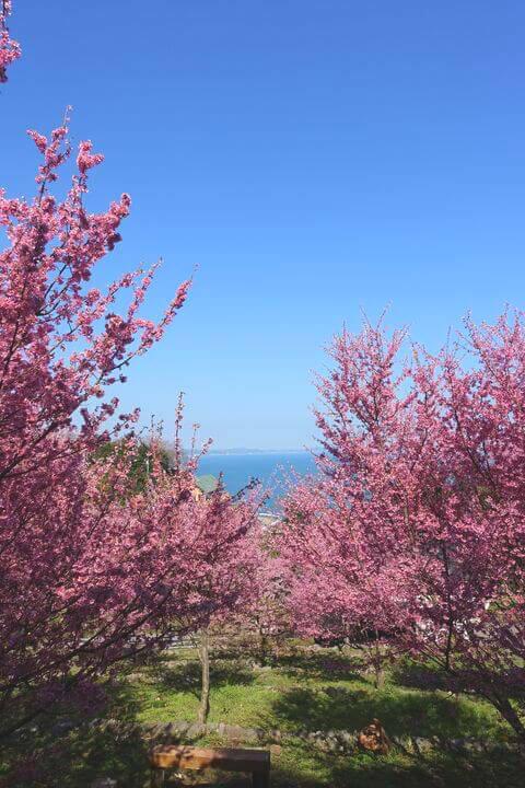 江の浦テラス おかめ桜