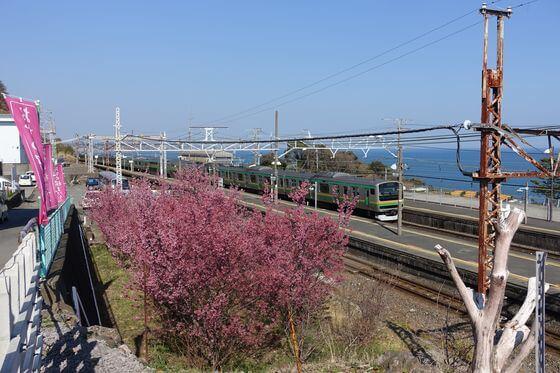 根府川駅 桜