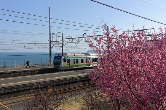 小田原 根府川駅 おかめ桜
