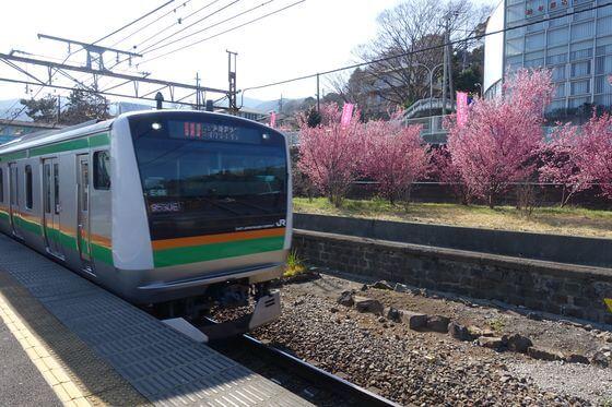 根府川駅 おかめ桜