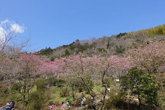 星ヶ山 桜