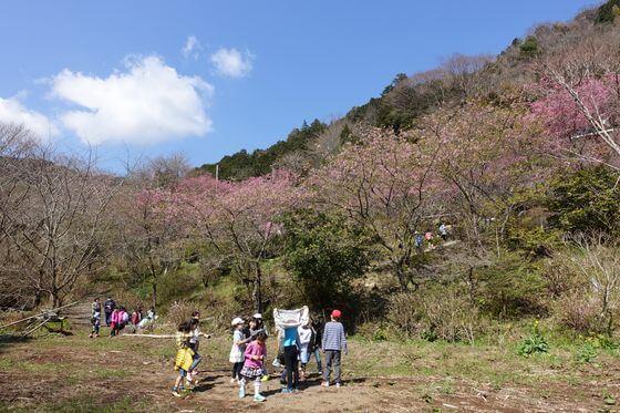 星々山 おかめ桜