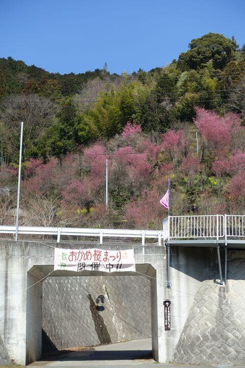 お山のたいしょう おかめ桜