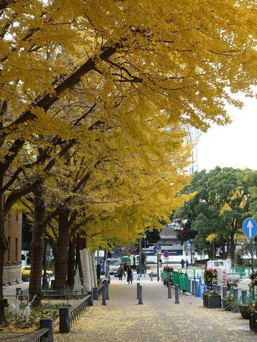 日本大通り 銀杏