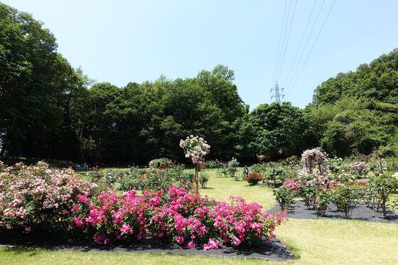 町田 バラ園