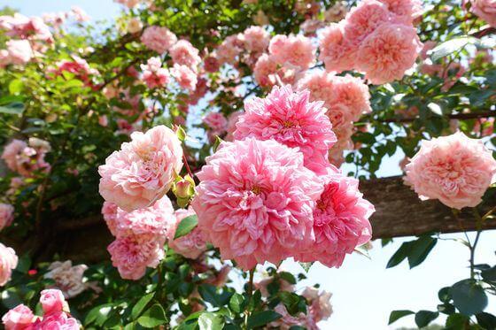 野津田公園 バラ 開花状況