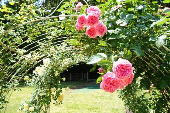 町田 薔薇