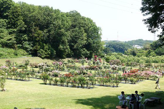 野津田公園 バラ