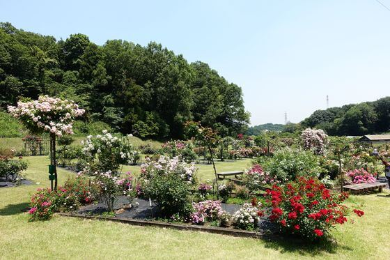 野津田公園 薔薇