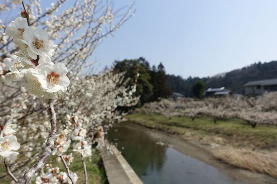 埼玉県 梅 名所