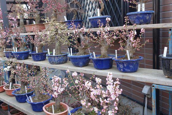 越生梅林 盆栽