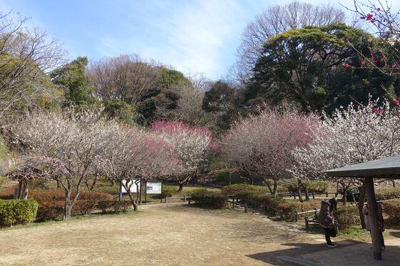 岡村公園 梅