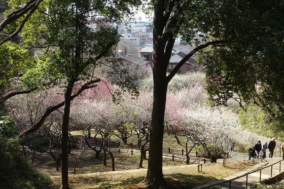 岡村公園 梅林