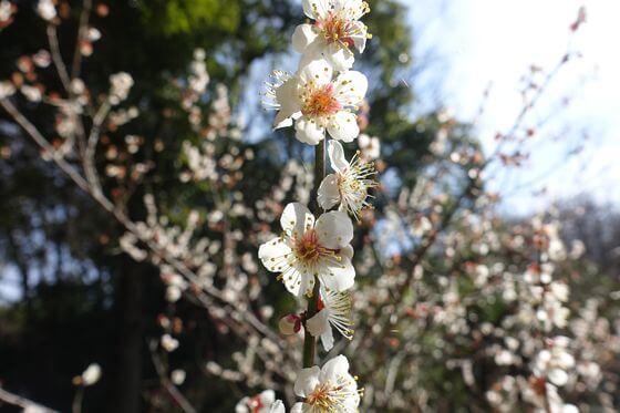 岡村公園 梅まつり