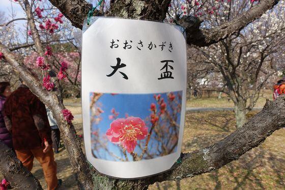 大宮第二公園 梅 種類