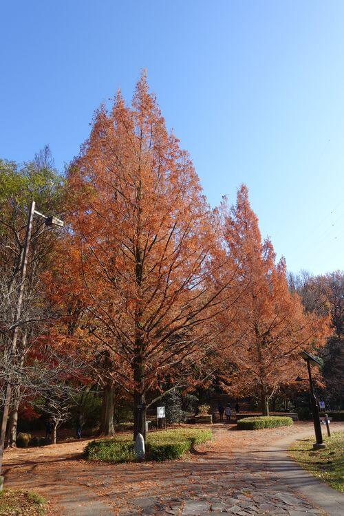 桜ヶ丘公園 メタセコイア