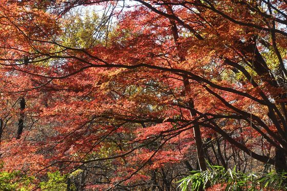 桜ヶ丘公園 紅葉 状況