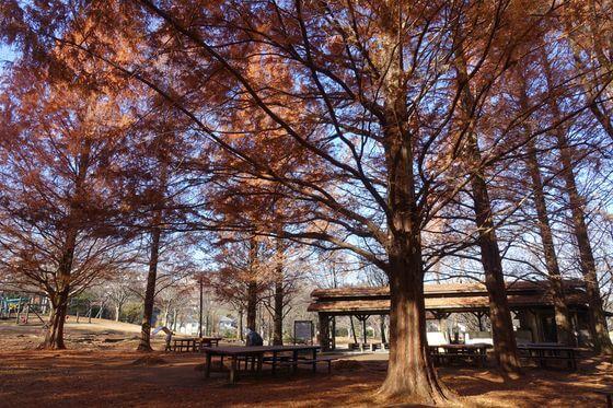 桜ヶ丘公園 紅葉 見頃