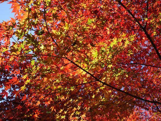 三渓園 紅葉 状況